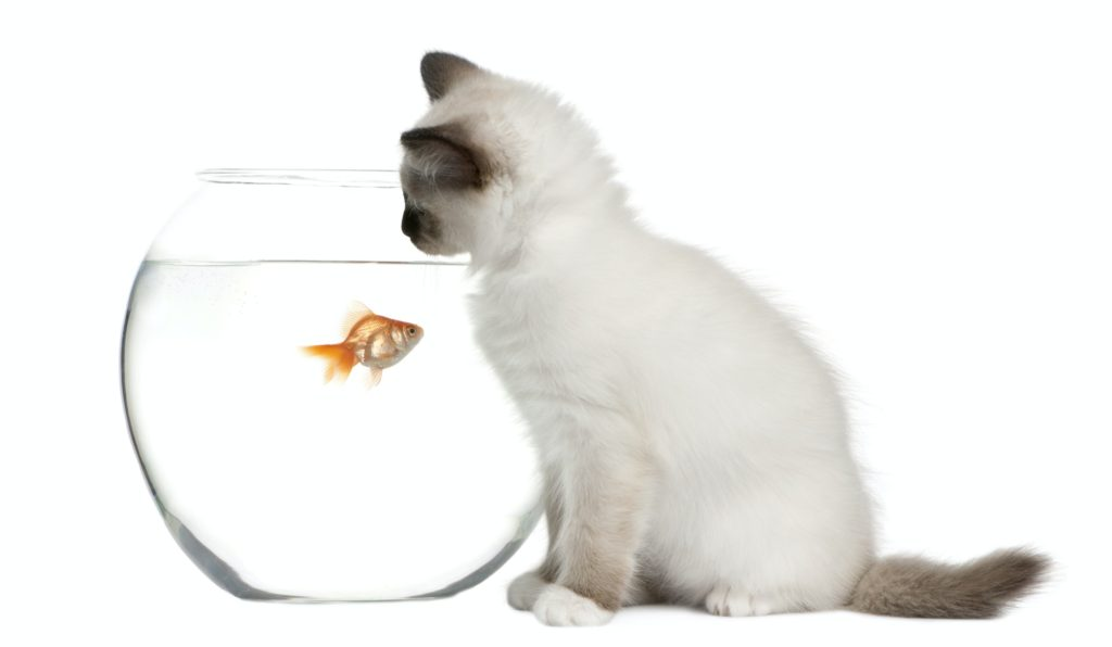 Birman Kitten, 2 months old, looking in goldfish bowl in front of white background
