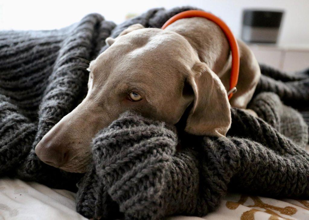 los perros tienen frío